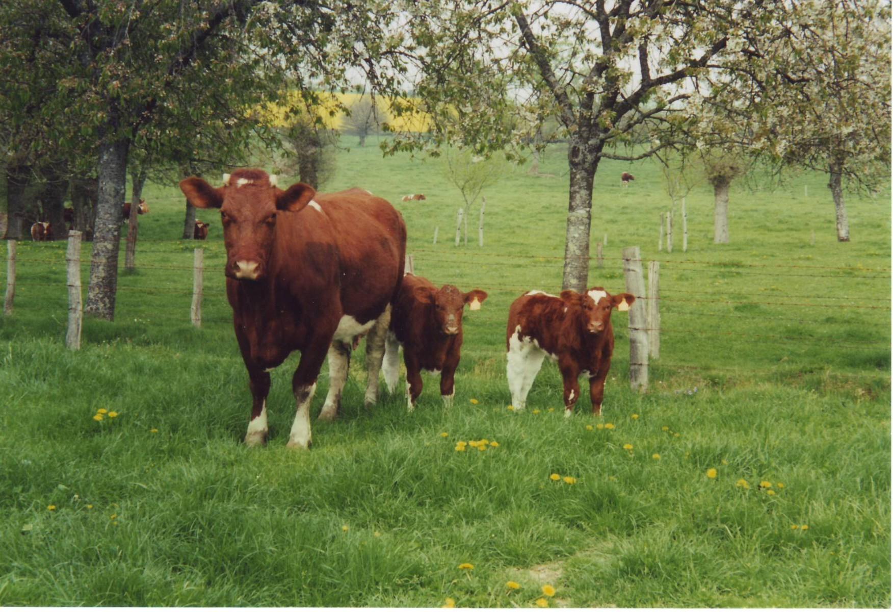 Photo vache et jumeaux